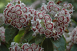 Bullseye Mountain Laurel (Kalmia latifolia 'Bullseye') at River Street Flowerland