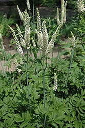 American Bugbane (Cimicifuga racemosa) at River Street Flowerland