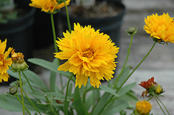 Sunray Tickseed (Coreopsis grandiflora 'Sunray') at River Street Flowerland