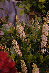 Sixteen Candles Summersweet (Clethra alnifolia 'Sixteen Candles') at River Street Flowerland