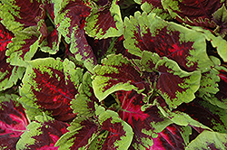 Kong Red Coleus (Solenostemon scutellarioides 'Kong Red') at River Street Flowerland