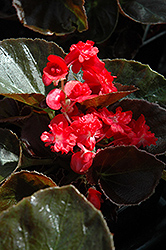 Doublet Red Begonia (Begonia 'Doublet Red') at River Street Flowerland