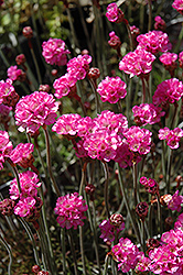 Red-leaved Sea Thrift (Armeria maritima 'Rubrifolia') at River Street Flowerland