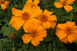 Disco Orange Marigold (Tagetes patula 'Disco Orange') at River Street Flowerland