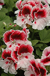Elegance™ Crystal Rose Geranium (Pelargonium 'Elegance Crystal Rose') at River Street Flowerland