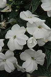 Sonic® White New Guinea Impatiens (Impatiens 'Sonic White') at River Street Flowerland