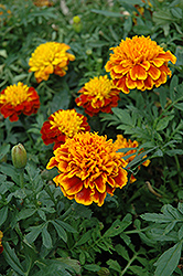 Janie Flame Marigold (Tagetes patula 'Janie Flame') at River Street Flowerland