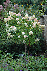 Limelight Hydrangea (tree form) (Hydrangea paniculata 'Limelight (tree form)') at River Street Flowerland