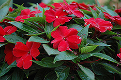Celebrette Red New Guinea Impatiens (Impatiens 'Celebrette Red') at River Street Flowerland