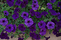 Wave Blue Petunia (Petunia 'Wave Blue') at River Street Flowerland