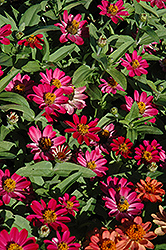 Profusion Cherry Zinnia (Zinnia 'Profusion Cherry') at River Street Flowerland
