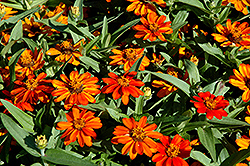 Profusion Orange Zinnia (Zinnia 'Profusion Orange') at River Street Flowerland