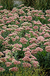 Autumn Joy Stonecrop (Sedum 'Autumn Joy') at River Street Flowerland