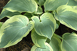 Northern Exposure Hosta (Hosta 'Northern Exposure') at River Street Flowerland