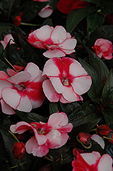 Sonic® Sweet Cherry New Guinea Impatiens (Impatiens 'Sonic Sweet Cherry') at River Street Flowerland