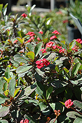 Crown Of Thorns (Euphorbia milii) at River Street Flowerland