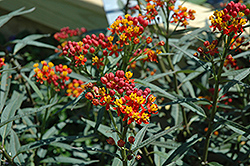 Silky Deep Red Milkweed (Asclepias curassavica 'Silky Deep Red') at River Street Flowerland