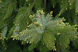 Gotelli Weeping Serbian Spruce (Picea omorika 'Gotelli Weeping') at River Street Flowerland