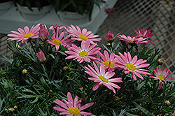 Angelic Giant Pink Marguerite Daisy (Argyranthemum frutescens 'Angelic Giant Pink') at River Street Flowerland