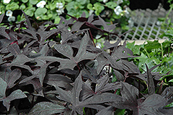 Blackie Sweet Potato Vine (Ipomoea batatas 'Blackie') at River Street Flowerland