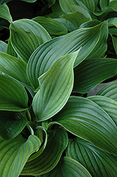 Komodo Dragon Hosta (Hosta 'Komodo Dragon') at River Street Flowerland