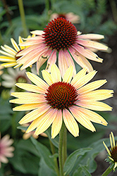 Evening Glow Coneflower (Echinacea 'Evening Glow') at River Street Flowerland