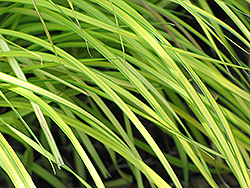 Bowles Golden Sedge (Carex elata 'Bowles Golden') at River Street Flowerland