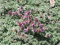Wooly Thyme (Thymus pseudolanuginosis) at River Street Flowerland