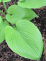 Sum and Substance Hosta (Hosta 'Sum and Substance') at River Street Flowerland