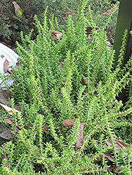 Watch Chain Crassula (Crassula muscosa) at River Street Flowerland