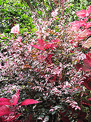 Red-leaved Snow Bush (Breynia disticha 'Roseopicta') at River Street Flowerland