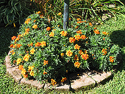 Disco Queen Marigold (Tagetes patula 'Disco Queen') at River Street Flowerland