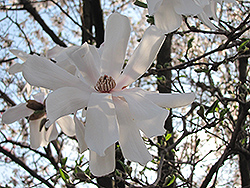 Waterlily Magnolia (Magnolia stellata 'Waterlily') at River Street Flowerland