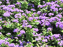 Hawaii Blue Flossflower (Ageratum 'Hawaii Blue') at River Street Flowerland