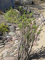 Miniature Pine Tree (Crassula tetragona) at River Street Flowerland