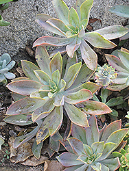 Fred Ives Graptoveria (Graptoveria 'Fred Ives') at River Street Flowerland