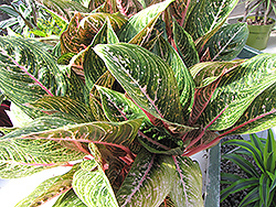 Pink Sapphire Chinese Evergreen (Aglaonema 'Pink Sapphire') at River Street Flowerland