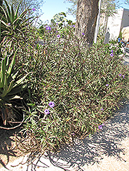 Mexican Petunia (Ruellia brittoniana) at River Street Flowerland