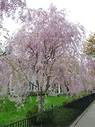Weeping Higan Cherry (Prunus subhirtella 'Pendula') at River Street Flowerland
