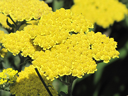 Moonshine Yarrow (Achillea 'Moonshine') at River Street Flowerland