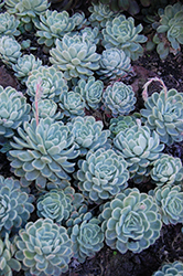 Mexican Snowball (Echeveria elegans) at River Street Flowerland