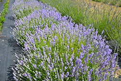 Blue Cushion Lavender (Lavandula angustifolia 'Blue Cushion') at River Street Flowerland