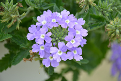 Lanai® Blue Eyes Verbena (Verbena 'Lanai Blue Eyes') at River Street Flowerland