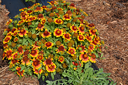 Mesa Bright Bicolor Blanket Flower (Gaillardia x grandiflora 'Mesa Bright Bicolor') at River Street Flowerland