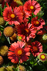 Sunset™ Celebration Blanket Flower (Gaillardia x grandiflora 'Sunset Celebration') at River Street Flowerland