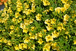 MiniFamous® Neo Deep Yellow Calibrachoa (Calibrachoa 'MiniFamous Neo Deep Yellow') at River Street Flowerland