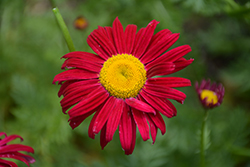 Robinson's Red Painted Daisy (Tanacetum coccineum 'Robinson's Red') at River Street Flowerland