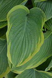 Victory Hosta (Hosta 'Victory') at River Street Flowerland