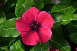 Tattoo™ Black Cherry Vinca (Catharanthus roseus 'PAS1192838') at River Street Flowerland