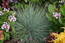 Beyond Blue™ Blue Fescue (Festuca glauca 'Casca11') at River Street Flowerland